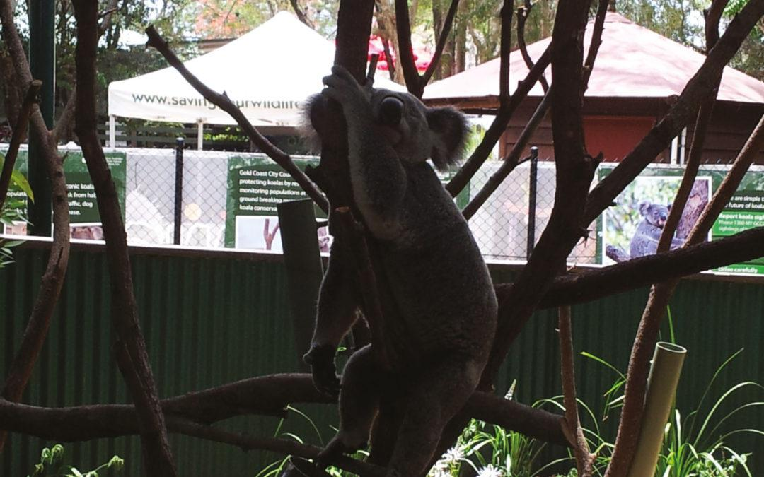 Koalas – Currumbin Wildlife Sanctuary