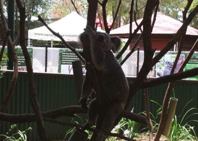 Koalas – Currumbin Wildlife Sanctuary